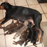 litter of doberman puppies
