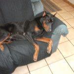 black doberman resting
