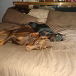 two large dobermans in bed