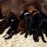 puppies feeding