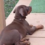 european doberman puppy