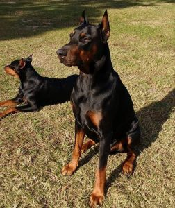 Large black doberman