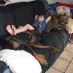 Kid laying on 2 Large dobermans